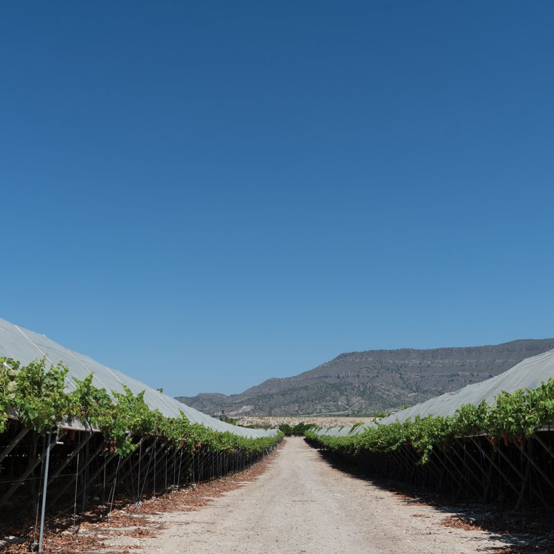 Grapes are grown under nets to protect them from the elements
