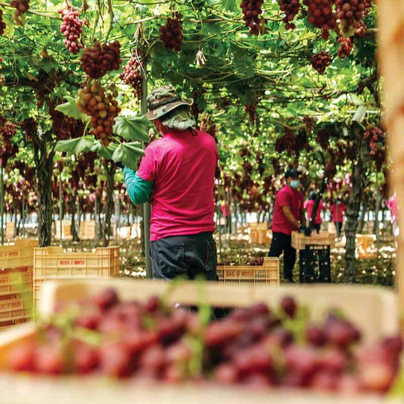 All grapes are handpicked and trimmed before being sent to pack houses