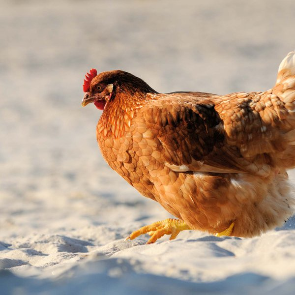 Al Ain Farms poultry: locally raised and naturally fresh